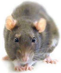Control y prevención de plagas de roedores