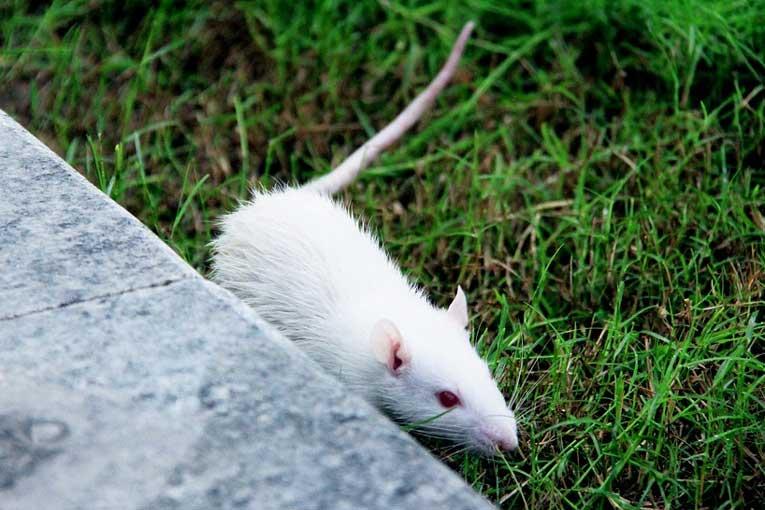 enfermedades provocadas por las ratas
