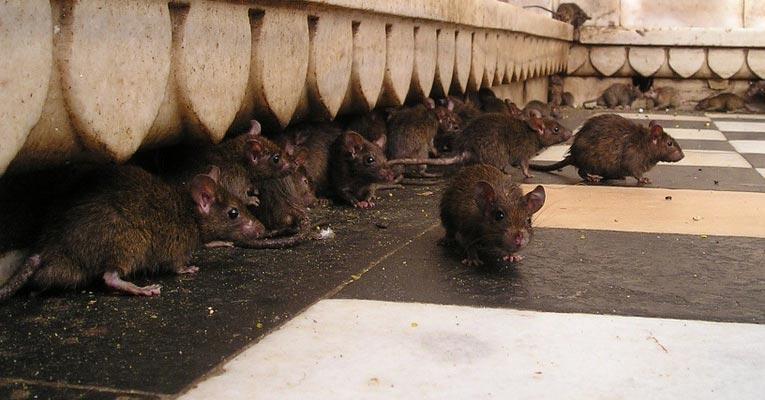 ¿Cómo eliminar plagas de ratones y ratas?