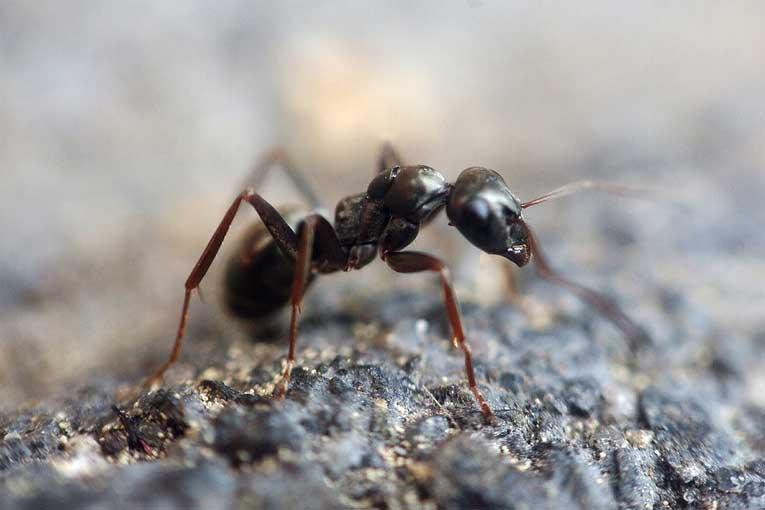 claves del control de plagas de hormigas