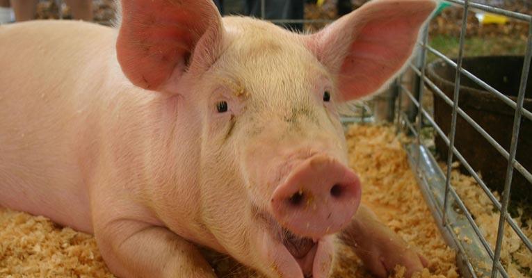 ¿Cómo desinfectar granjas de porcino?