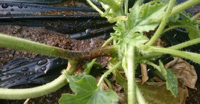 ¿Cóomo eliminar pythium en cultivo de frutas y verduras?