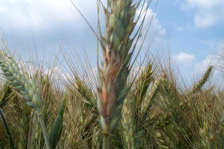 ¿Cómo evitar el fusarium en el cultivo agricultura?