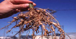 ¿Cómo evitar nemátodos en la agricultura?