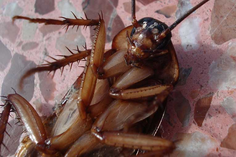 eliminar cucarachas, eliminación de cucarachas