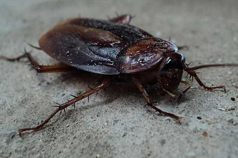 enfermedades provocadas por las cucarachas