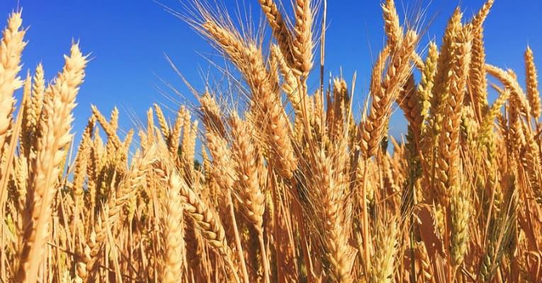 Estudio: secado, procesado y conservación de semillas y cereales en poscosecha